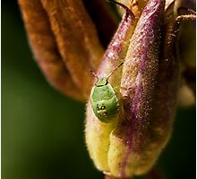 Green Shield Bug Nymph Photographic Print