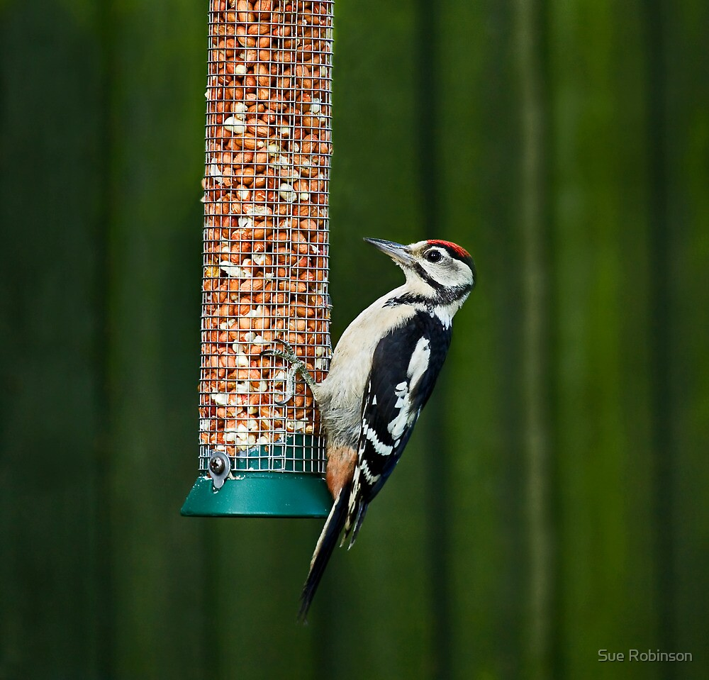Great Spotted Woodpecker on feeder by Sue Robinson