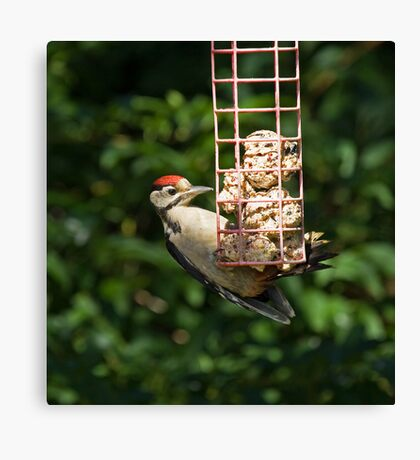 Great Spotted Woodpecker in sunlight Canvas Print