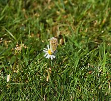 Common Blue butterfly on daisy by Sue Robinson
