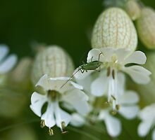 Speckled Bush Cricket immature on Bladder Campion by Sue Robinson