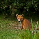 Red Fox Cub sitting by Sue Robinson