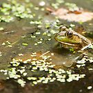 Frog in the Pond by Tracy Riddell