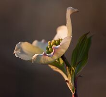 Dogwood  by Denise Worden