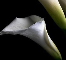 Calla Lily on Black by Denise Worden