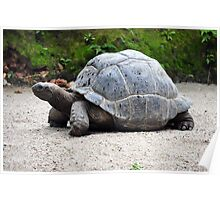 Turtle, aged 110 years, seen in Singapore   Poster