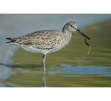 Willet lunch Photographic Print
