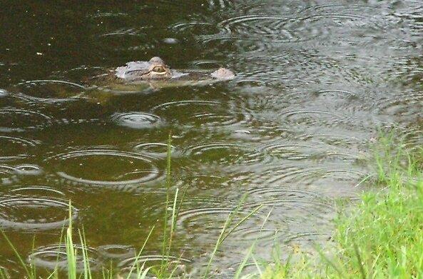 Gator in the rain by alamarmie