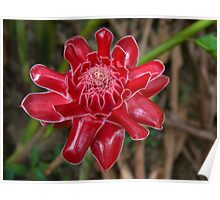 White Tipped Red Torch Ginger Poster