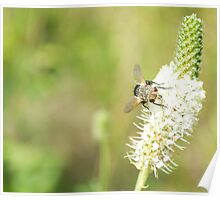 Resting Fly Poster