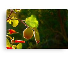 Quince Fruit On Tree Canvas Print