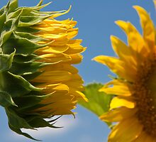 Sunflowers by Denise Worden