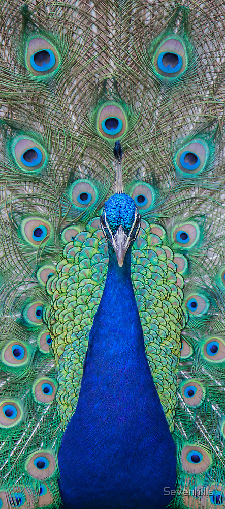Peacock 2 of 3 by Sevenhills