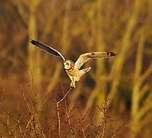 short eared owl 2 by Steve Shand