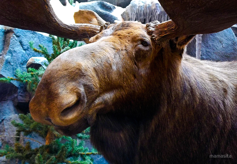 Big Bull Moose by mamasita
