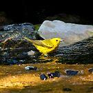 Yellow Warbler by Teresa Zieba