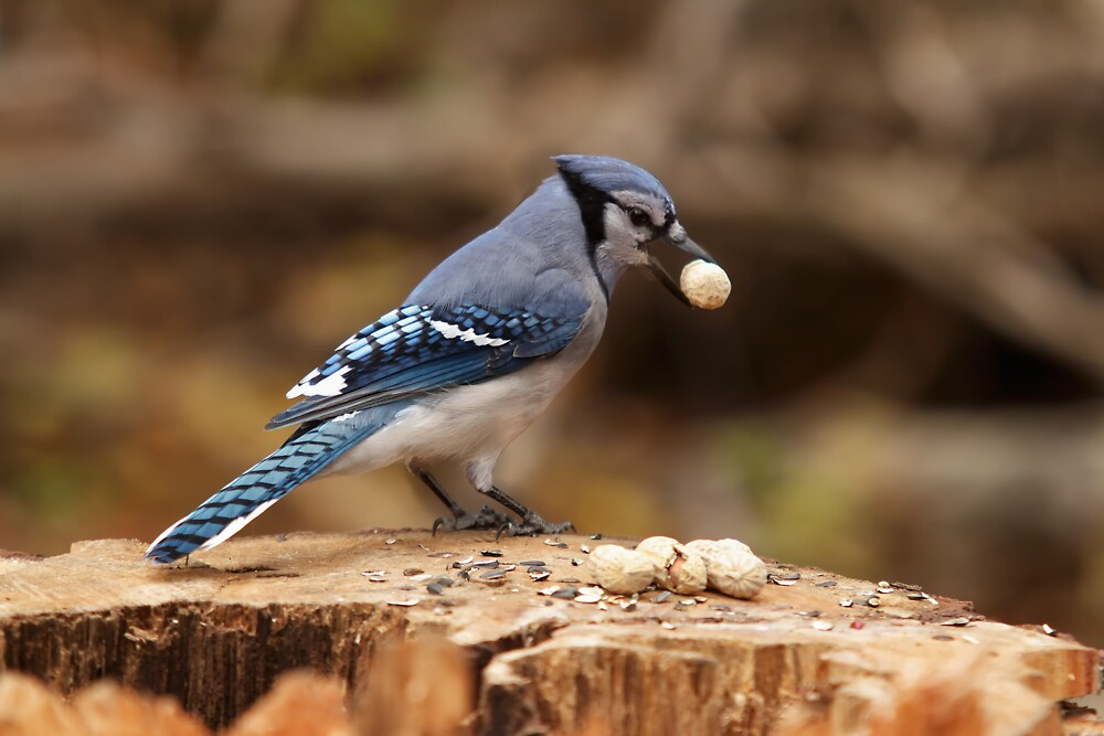 Blue Jay with nut in mouth by Josef Pittner
