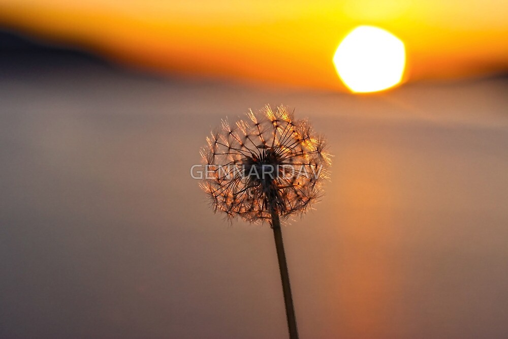 Dandelion Sunset by GENNARIDAV