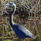 Heron in the Marsh by MaryinMaine