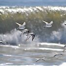 Piping Plovers in Flight by Robin Black