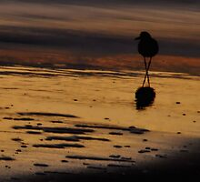 Piping Plover at Dawn by Robin Lee