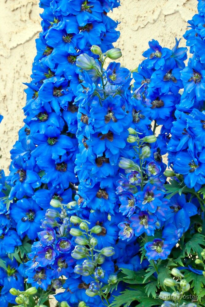 Blue, Blue Delpheniums by Sandra Foster