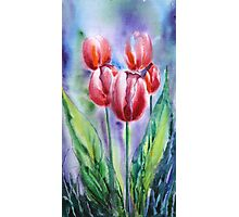 ''Red tulips'' Photographic Print