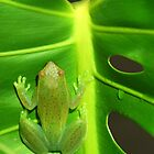 Greater Hatchet Faced Treefrog (Sphaenorhynchus lacteus)  by Jason Weigner