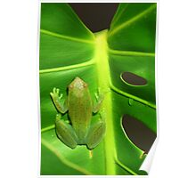 Greater Hatchet Faced Treefrog (Sphaenorhynchus lacteus)  Poster