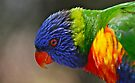 Colours of a rainbow - Rainbow Lorikeet by Ian Berry