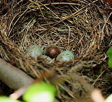 nest with an eggs for Turdus merula bird by sarah saweirs
