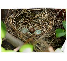 nest with an eggs for Turdus merula bird Poster