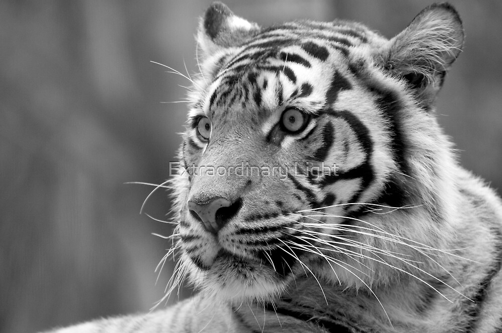 Tiger by Renee Hubbard Fine Art Photography