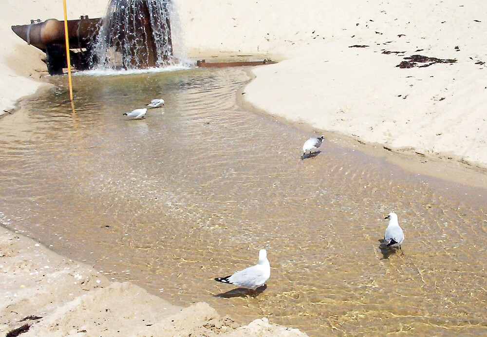 Gulls In Water Four - 20 10 12 by Robert Phillips