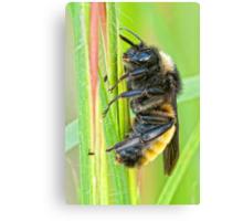 Sleeping Bee Canvas Print
