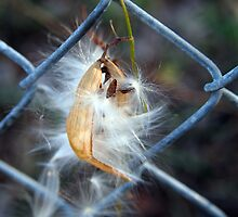 Milkweed on Fence by Linda  Makiej