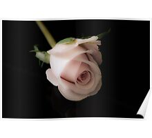 wax rose on black background Poster
