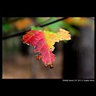 Yellow And Red Maple Leaf In Autumn - Middle Island, New York  by © Sophie Smith