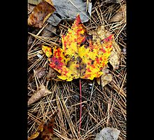 Fallen Yellow And Red Maple Leaf  by © Sophie W. Smith