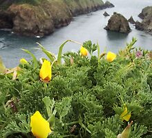 Yellow Poppies on the cliffs by Agatespen