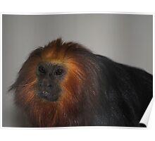 Golden-Headed Lion Tamarin Poster