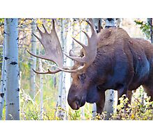 Sad Ending For A Stunning Bull Moose Photographic Print