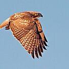 102612 Red Tailed Hawk by Marvin Collins