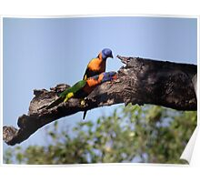 Red-collared Lorikeets Poster