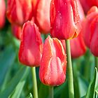 Red Tulips by Junec