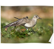 Plover Stretch Poster