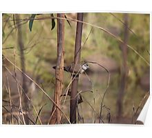 Double-Barred Finch Poster