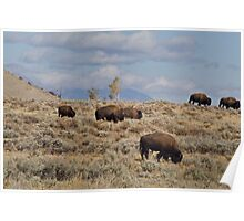 Bison Grazing During the Rut Poster