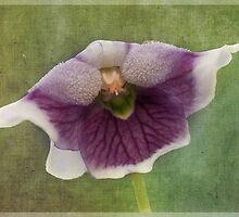Australian Native Violet - Viola hederacea by pcbermagui