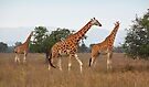 Rothschild's Giraffes, Lake nakuru, Kenya by Carole-Anne